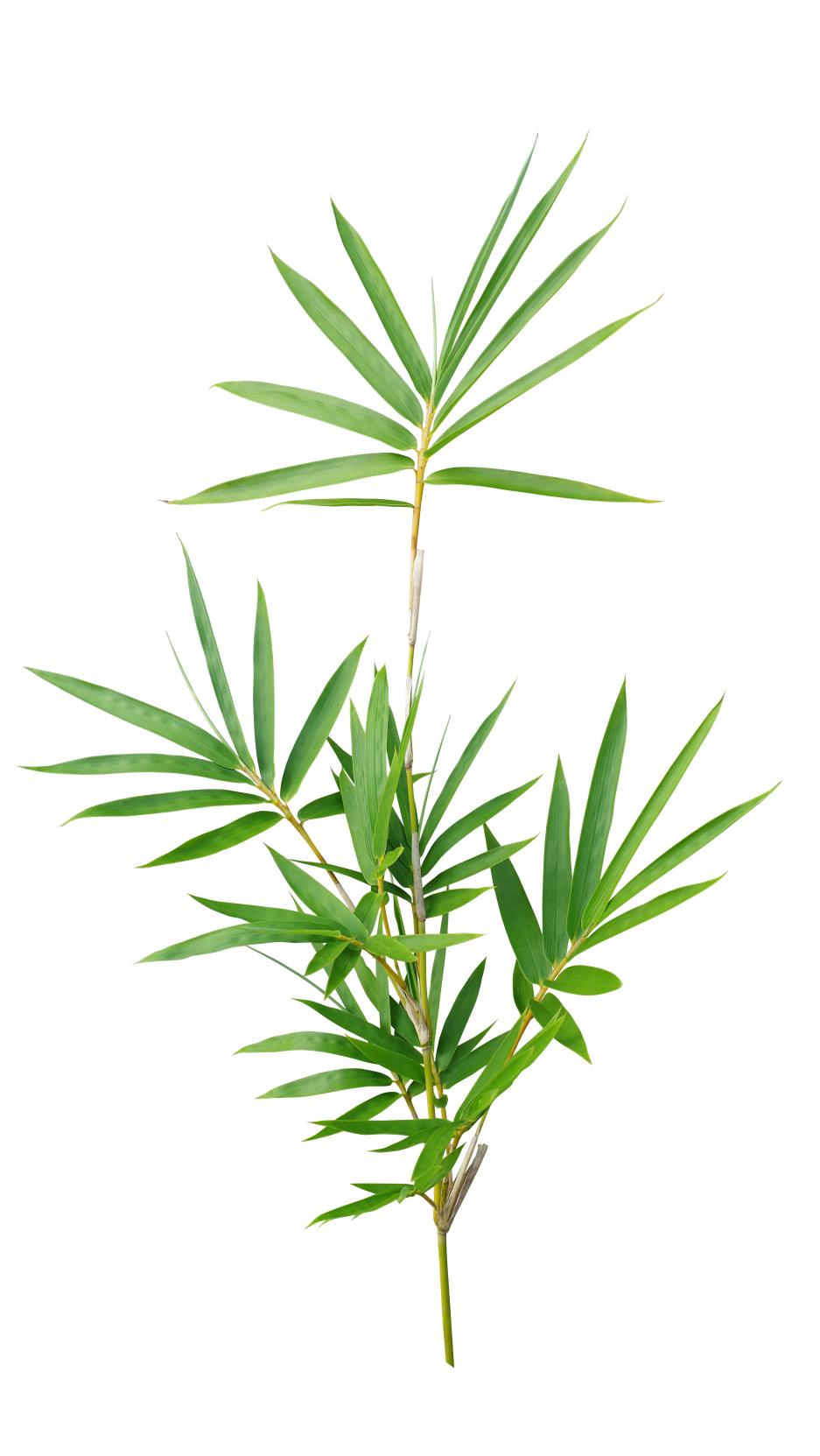 Ekstrakt bambusa